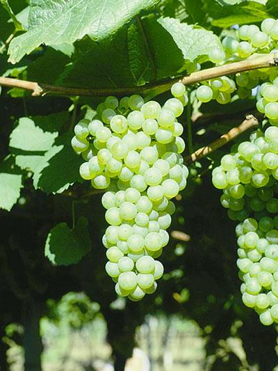 Chardonnay I-ISMA 105